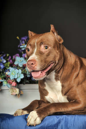American Staffordshire terrier  18 months  in front of dark background  photo