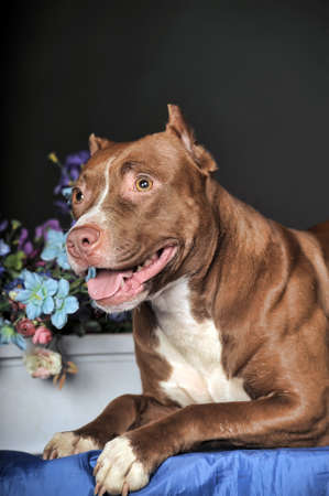 American Staffordshire terrier  18 months  in front of dark background  Stock Photo
