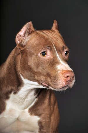 gardian: Pit Bull Terrier in studio