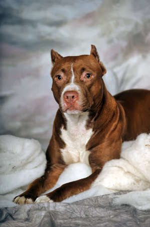gardian: Brown Pit Bull Stock Photo
