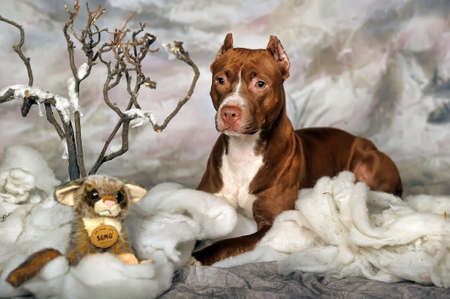 gardian: Brown Pit Bull Editorial
