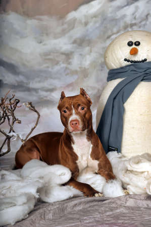 bul: Brown Pit Bull Stock Photo