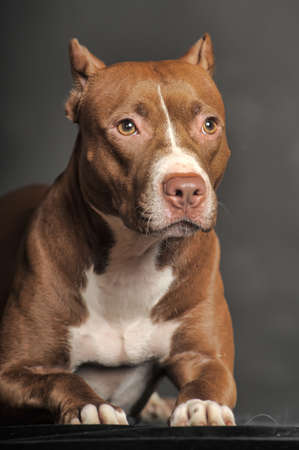 householder: Pit Bull Terrier Stock Photo