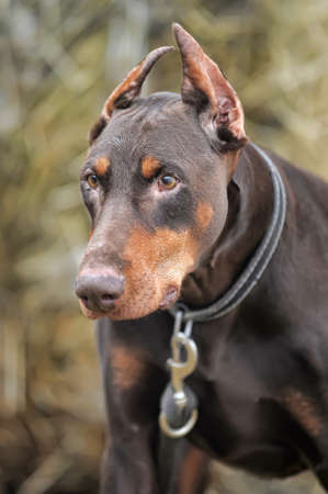Close-up portrait of purebred brown Doberman  photo