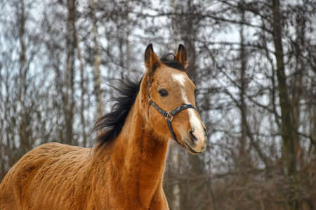 warmblood: Horse portrait in winter time