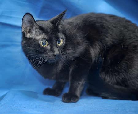 moggi: Black cat on a blue background