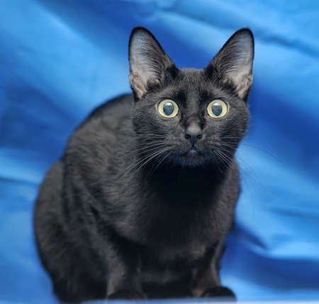 moggi: Black cat on a blue background