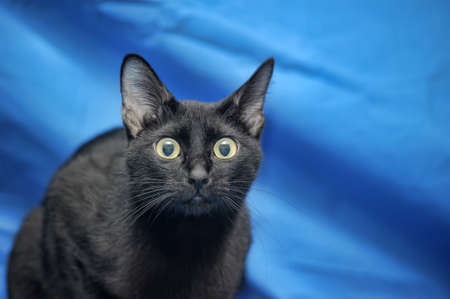 Black cat on a blue background  photo