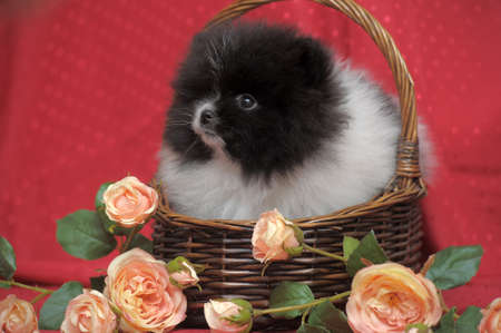 Pomeranian puppy photo
