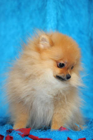 Smiling pomeranian dog  photo