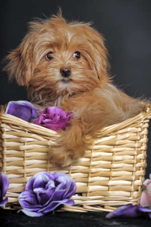 Decorative dog  Puppy of the Petersburg orchid photo