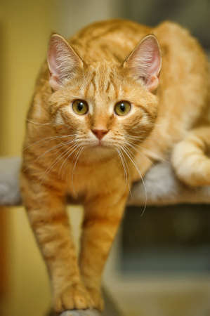 beautiful red cat portrait photo