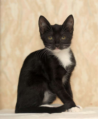 black and white kitten photo