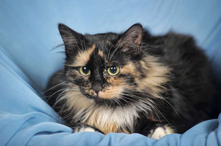 calico whiskers: Tortie and white cat on a blue  Stock Photo