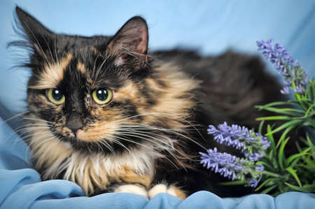 Tortie and white cat on a blue background with flowers  photo