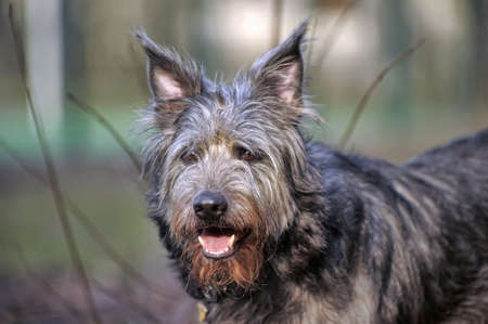 Portrait  of  long haired terrier dog  photo