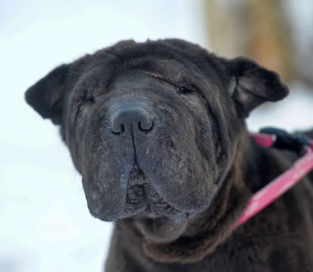 molosse: Black Shar Pei on snow background