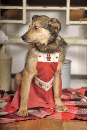 half breed: Dog chef in the kitchen