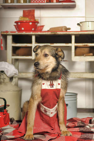 house trained: Dog chef in the kitchen