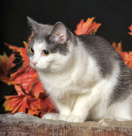 white and gray cat on a background of autumn leaves in the studio photo