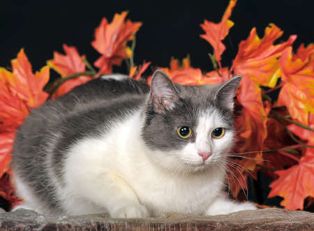 felix: white and gray cat on a background of autumn leaves in the studio