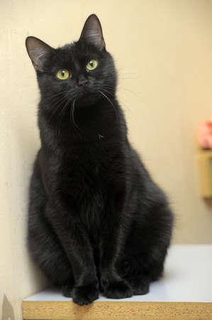 moggi: black cat Stock Photo
