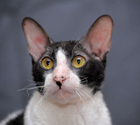 Cornish Rex photo