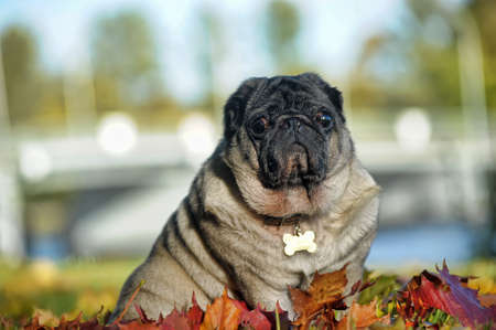 sturdy: pug and autumn leaves