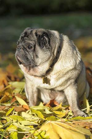 breeding ground: pug and autumn leaves