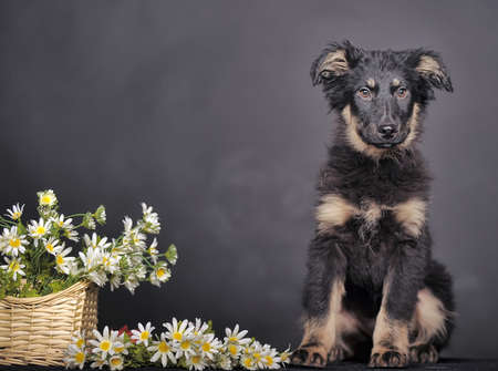 Cute puppy and a basket of daisies  photo