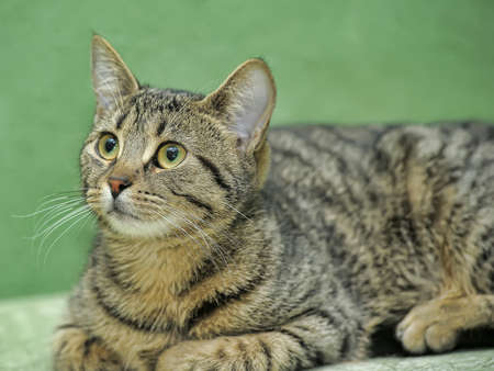 young tabby cat on a green background photo