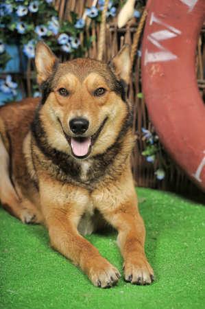 Beautiful brown crossbreed dog Husky and Shepherd. photo