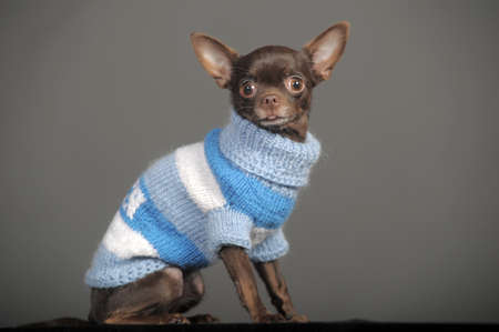 Brown Chihuahua portrait close-up. photo