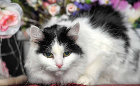 Fluffy white cat with black spots and flowers in the studio. photo