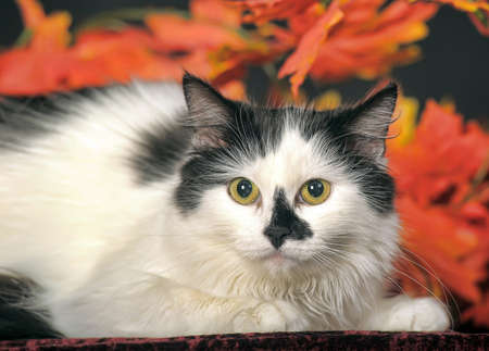 purring: Fluffy white cat with black spots on a background of autumn leaves in the studio.