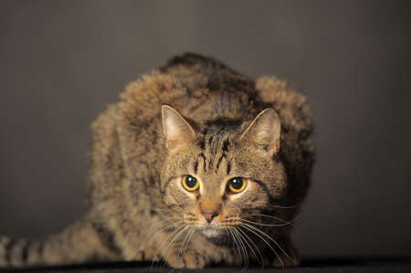 tabby cat on gray background photo
