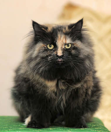 Beautiful fluffy black with red cat Stock Photo