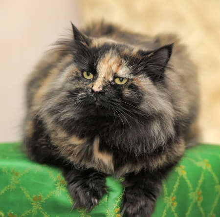 calico whiskers: Beautiful fluffy black with red cat Stock Photo