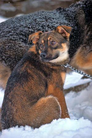 perro asustado: perrito lindo en el invierno en una cadena