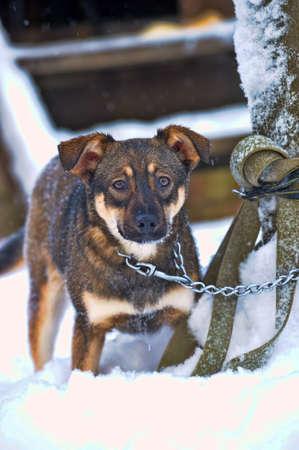 frightened dog: perrito lindo en el invierno en una cadena
