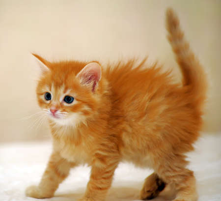 Charming ginger kitten one month of age  photo