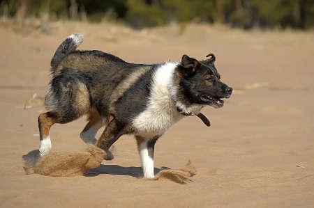 dog runs on the beach photo
