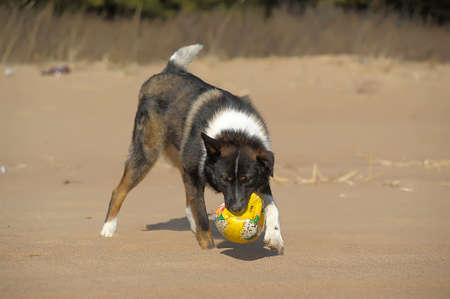dog runs and catches a ball on the beach photo