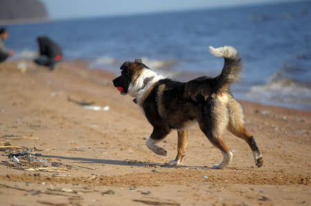 dog runs on the beach photo