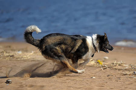 bounding: dog runs on the beach Stock Photo