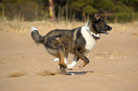 bounding: dog runs and catches a ball on the beach Stock Photo