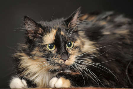 fluffy tortoiseshell photo