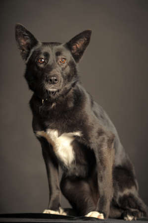 The dog is black with a white spot on the chest photo
