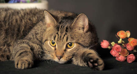 striped brown cat on a gray background and flowers photo