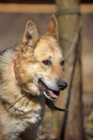 Portrait of crossbreed  german shepherd, beautiful young female  photo